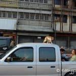 lop buri_monkey_car