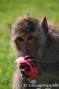 lop buri _monkey_feading