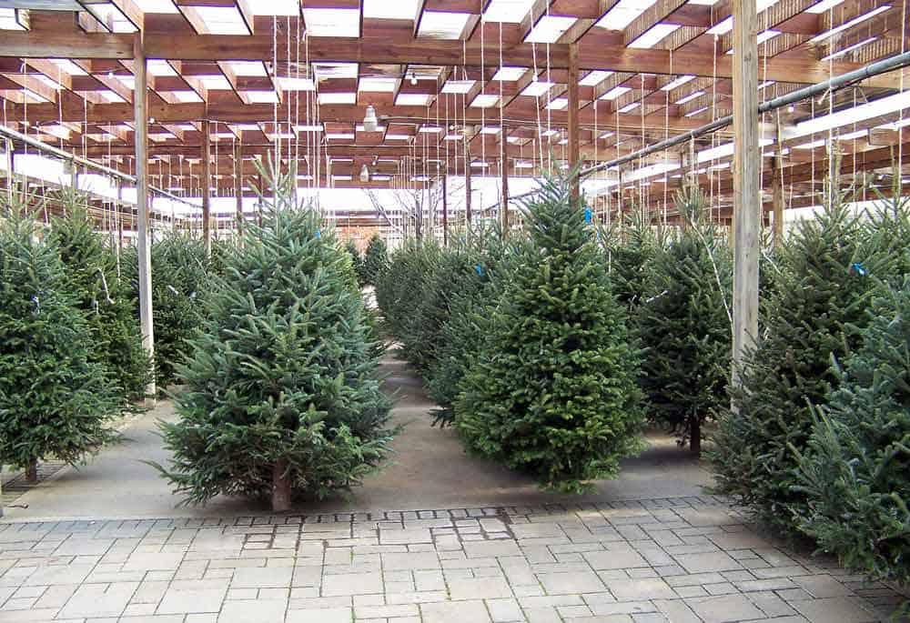 common christmas trees